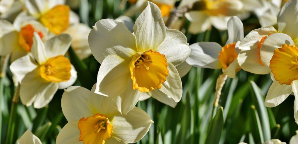 narcissus-4162300_1920